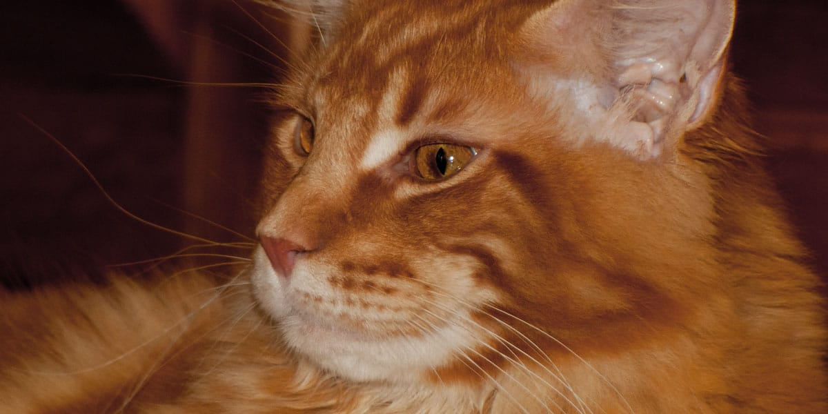 CH Highlander Bellamoondo *PL Ris | Golden Maine Coon