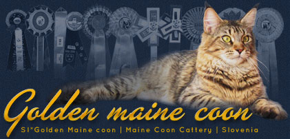 SI*Golden Maine coon | Maine Coon Cattery | Slovenia