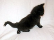 Maine Coon kittens 40 days old (Beckam).