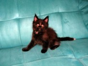 Maine Coon kittens 60 days old (Beckam).
