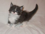 Maine Coon kittens 40 days old (Beba).
