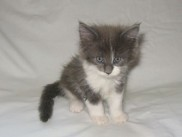 Maine Coon kittens 50 days old (Beba).