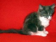 Maine Coon kittens 70 days old (Beba).