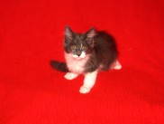 Maine Coon kittens 80 days old (Beba).