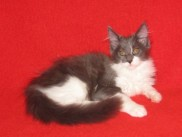 Maine Coon kittens 90 days old (Beba).