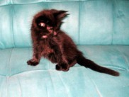 Maine Coon kittens 60 days old (Boby).