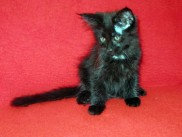 Maine Coon kittens 70 days old (Boby).