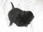 Maine Coon kittens 10 days old (Boby).