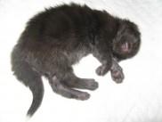 Maine Coon kittens 10 days old (Beckam).