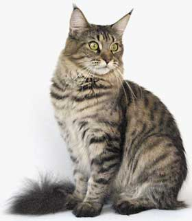 She looks like wild cat, but she has a soft temper. She has a long body with a strong bone structure, a long tail and good coat quality too. We adore her sweet personality.