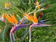 Sterlizia <i>(Strelitzia reginae)</i>