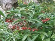 Brazilski poprovec <i>(Ardisia crenata)</i>