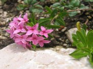 Navadni volčin <i>(Daphne cneorum)</i>