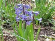 Hijacinta <i>(Hyacinthus)</i>