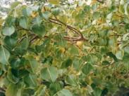Manchineel Tree <i>(Hippomane mancinella)</i>