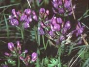 Alpski grahovec <i>(Astragalus alpinus)</i>