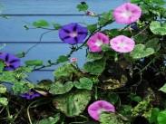 Škrlatni lepi slak <i>(Ipomoea purpurea)</i>