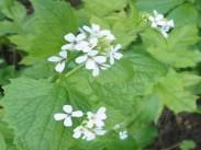 Česnovka <i>(Alliaria petiolata)</i>