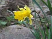 Narcisa <i>(Narcissus)</i>