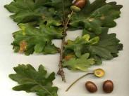 Hrast <i>(Quercus)</i>