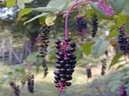 Barvilnica <i>(Phytolacca)</i>