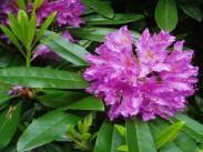 Dlakavi sleč <i>(Rhododendron)</i>