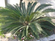 Sago palm <i>(Cycas revoluta)</i>