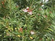 Yellow oleander <i>(Nerium oleander)</i>