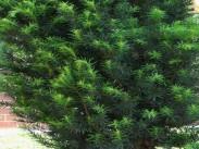 Tisa <i>(Taxus baccata)</i>